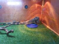 Male red iguana and viv