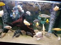MALAWI CICHLIDS ONLY £3 EACH ANY SIZE