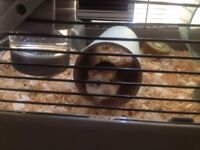 Russian Dwarf Hamster for Sale (Including cage, food, bedding, ball etc)