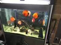 Unsexed discus for sale