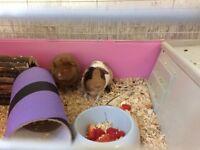 2 female guinea pigs 2 for £40