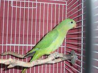 12 week old Barraband parrot for sale