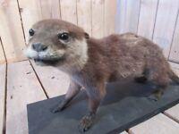 Taxidermy Otter
