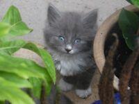 Fluffy frey and white kitten.