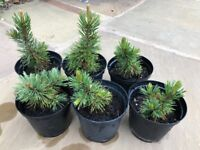 Bristlecone Pine Seedling/Small Tree (5 Years Old)