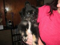 15/16ths pomeranian 1/16th papillion puppies