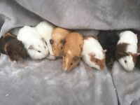 Baby male guineapigs