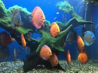 tropical aquarium fish for sale, discus