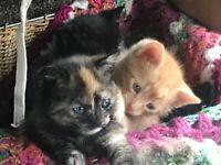 7 x British Short haired Kittens