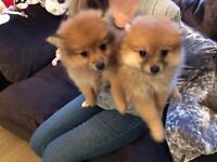 One Female Pom puppy left