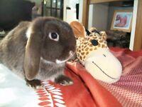 mini lop rabbits an hutches