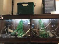 Ambilobe panthers and twin setup