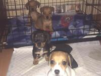 Dachshund puppies ready to leave