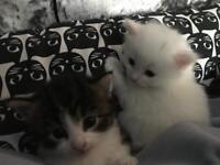 2 beautiful mixed Turkish Angora kittens