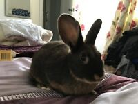 Female mini lop x 3 months old