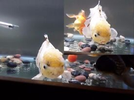 """Giant calico oranda 10"""" with excellent head growth"""