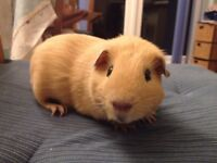 Gorgeous male guinea pig for sale