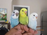 Baby Budgies 10Weeks Tame