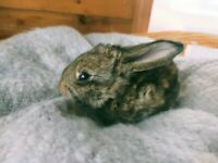Baby bunnies - deposits being taken now - continental giant x English lop