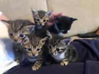Five gorgeous kittens for sale- ready to leave on 29th June- £90 each or two for £170