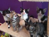 Ready now must go now!! 3 females Half bengal kittens