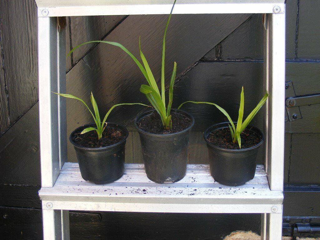 3 ornamental grass plants for sale   in New Brighton, Merseyside   Gumtree