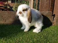 mini lop boy ready to leave now