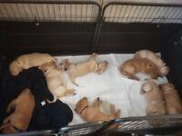 Kc Labrador retriever pups 3 boys left