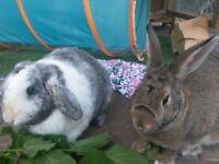 2 rabbits for sale ( Harlequin + Dutch )