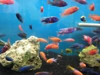 Assorted peacock cichlids for sale