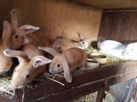10 week old baby bunny rabbits