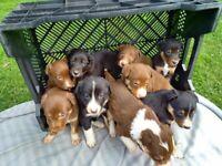 Unusual marked Border Collie Puppies
