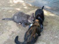 1 cat & 3 Kittens for Sale