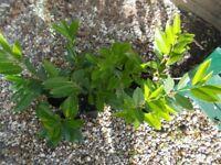 7 X POTS OF LAUREL HEDGING PLANTS