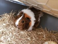 female guinea pig with cage ,bottle, food, plate.