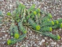 EUPHORBIA MYRSINITIS GROUND SPREADING PLANT