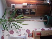 YUCCA PLANT 7FT TALL
