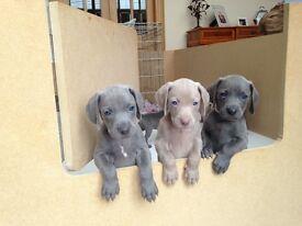 Weimaraner Puppies Gorgeous KC reg Blue Weimaraners