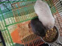 2 male Gerbils & Cage