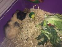 Two boy pigs free to good home