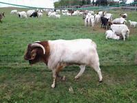 Complete Goat Herd Dispersal (Price Reduced)