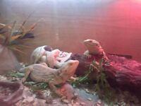 2 bearded dragons with 3ft vivarium (very friendly)