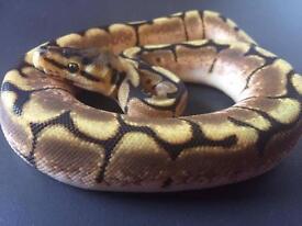 Baby spider pythons