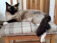 Ragdoll male kitten for sale