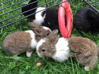 Baby rabbits 2 for 35gbp