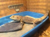 Bearded dragon with full set up
