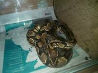 Yellow belly royal male