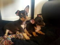 Russian Toy Terrier puppies!