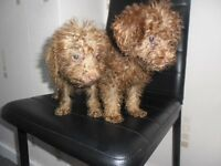beautiful little bedlinton x poodle puppies