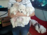 3 Adorable Maltese Bishon Frise Puppies For Sale